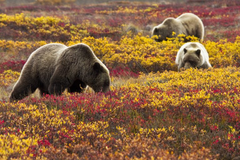 Three grizzly bears amidst the colorful tundra foliage in fall