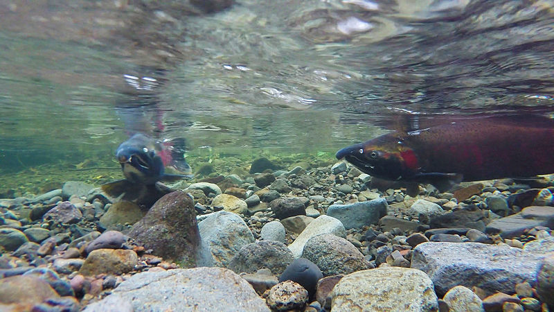 Red fish underwater in a shallow, rocky stream