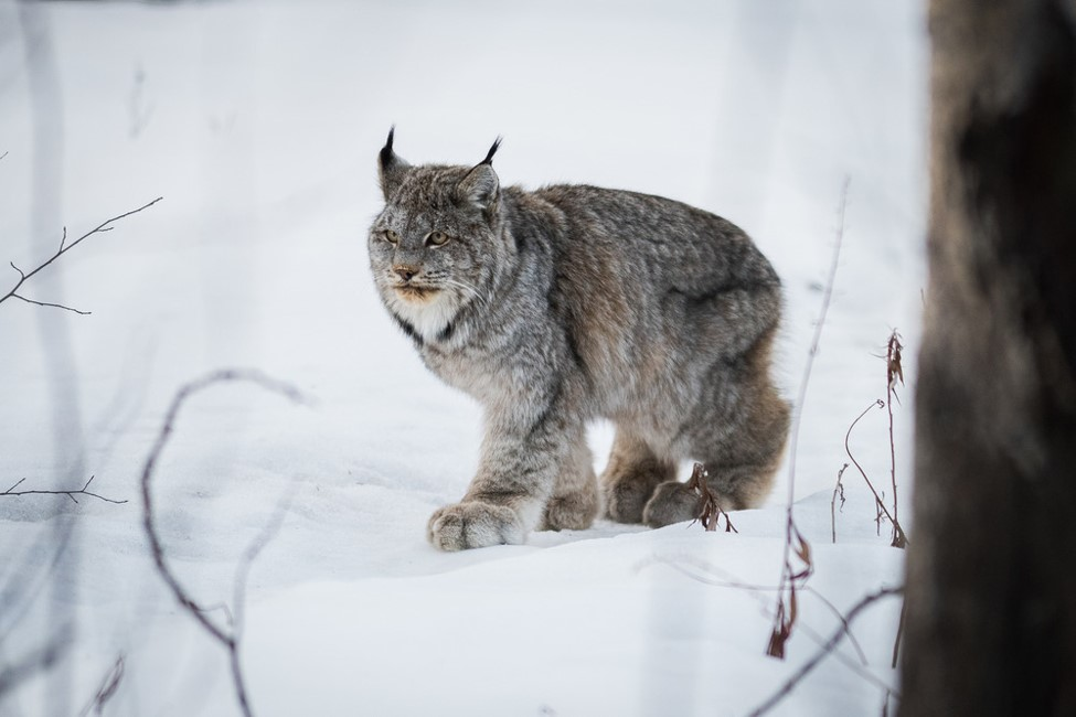 A lynx walks across the snow, its large paws visible.