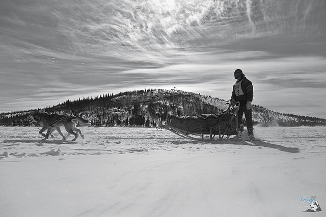 Person on a basket-style sled pulled by dogs over snow with hill in background, black and white photo