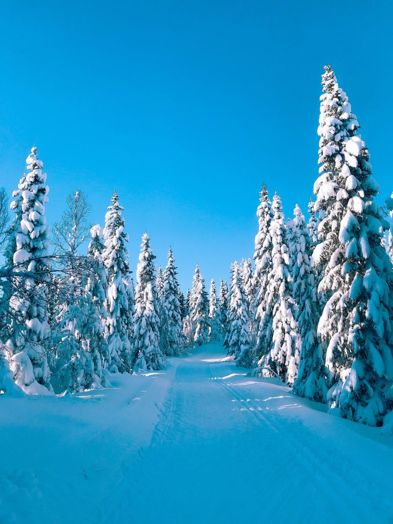 Conifer trees covered in snow along ski trail