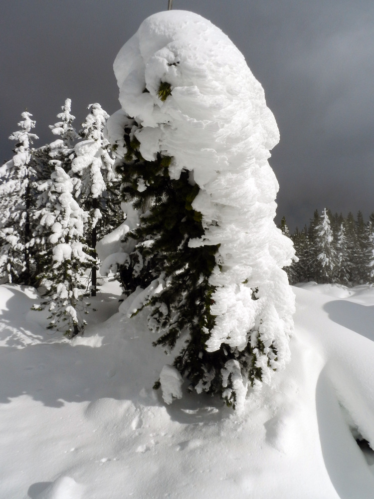 A conifer tree covered with wind-blown on one side