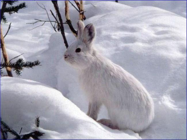 white snowshoe hare in white snow