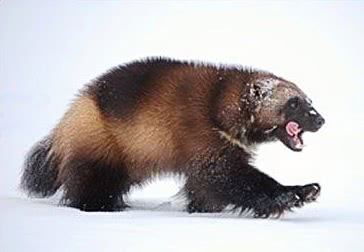 A wolverine walks in the snow.