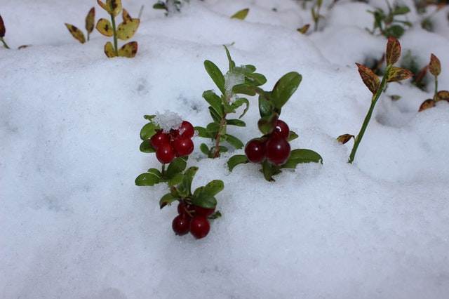 small plant with round leaves and red berries poking out of the snow