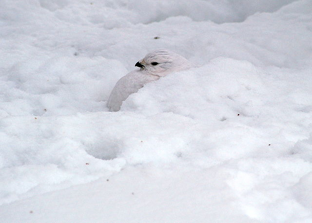 A white willow ptarmigan partially buried in the snow